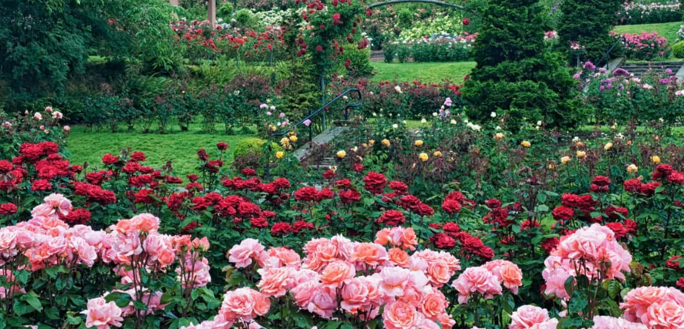 Is the international rose test garden open